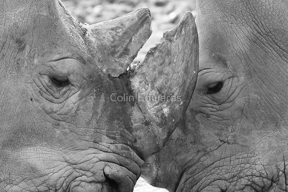 Rhino Face Off by Colin Edwards