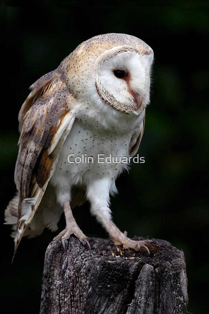 Barn Owl Portrait by Colin Edwards