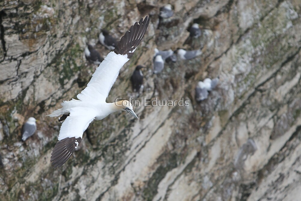 Cliff Edge Gannet by Colin Edwards