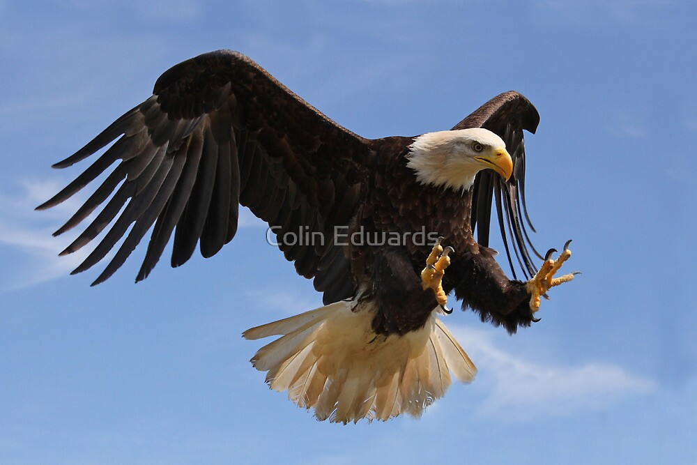 Eagle in Flight by Colin Edwards