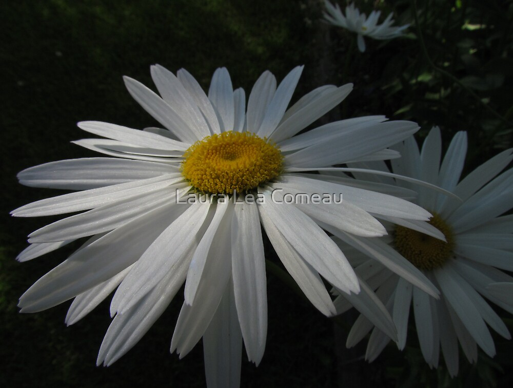 Daisy by Laura Lea Comeau