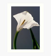 white flowers (Zantedeschia aethiopica) Art Print
