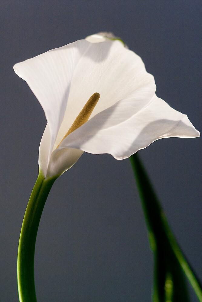 white flowers (Zantedeschia aethiopica) by pippo torre