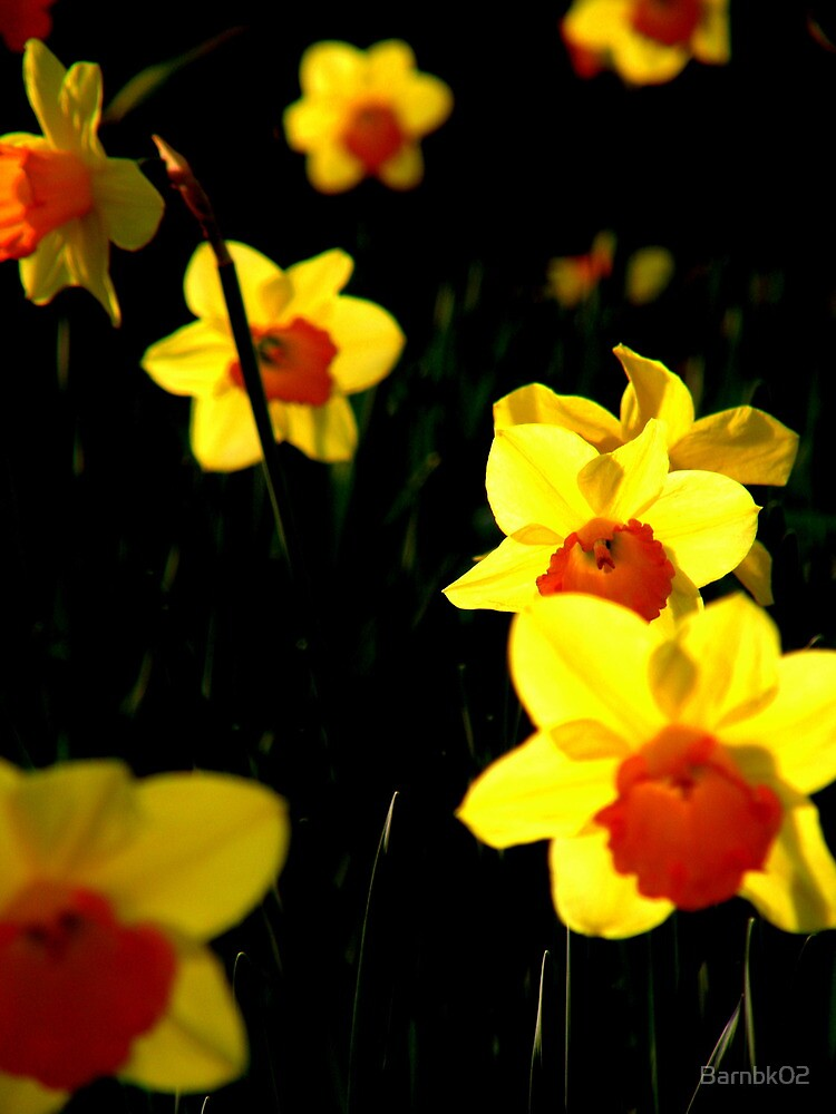 Distant Daffodil by Barnbk02