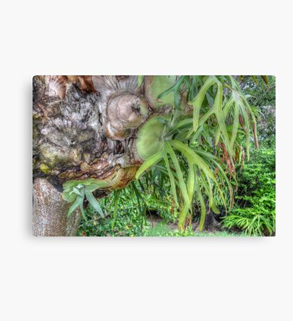 Staghorn Fern on a tree in Nassau, The Bahamas Canvas Print