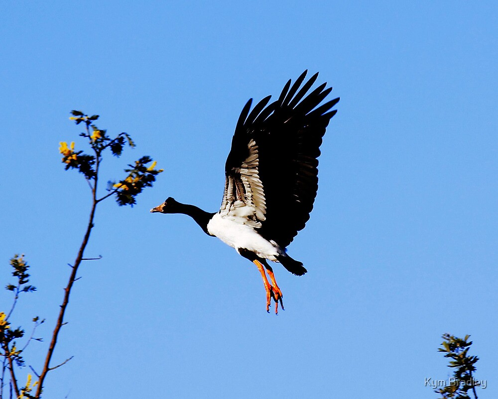 Up Up and Away Magpie Goose by Kym Bradley