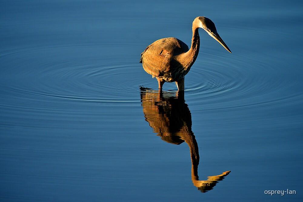 The Hunting Heron by osprey-Ian