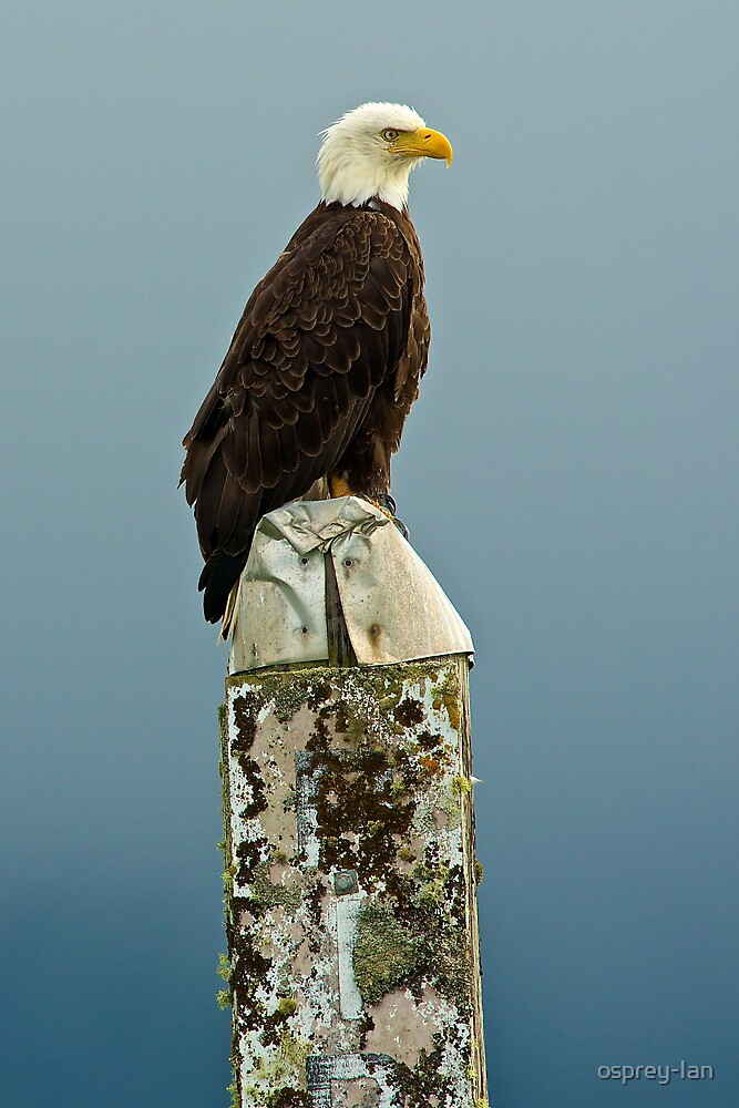 The Harbour Eagle by osprey-Ian