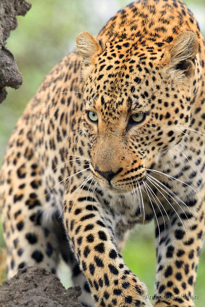 Just another gorgeous african leopard ! by Anthony Goldman