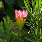 Sugar Bush Protea by croust