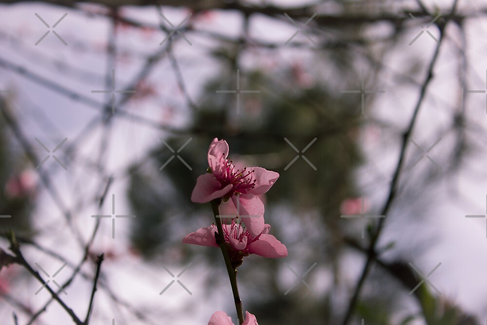 A Pink Flower by Jackson  McCarthy