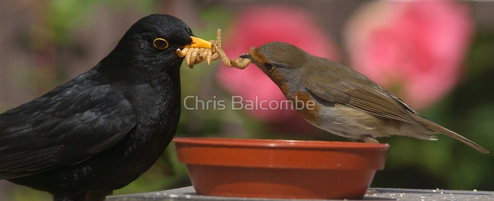 Blackbird and Robin tug of war for Mealworm by ChrisBalcombe