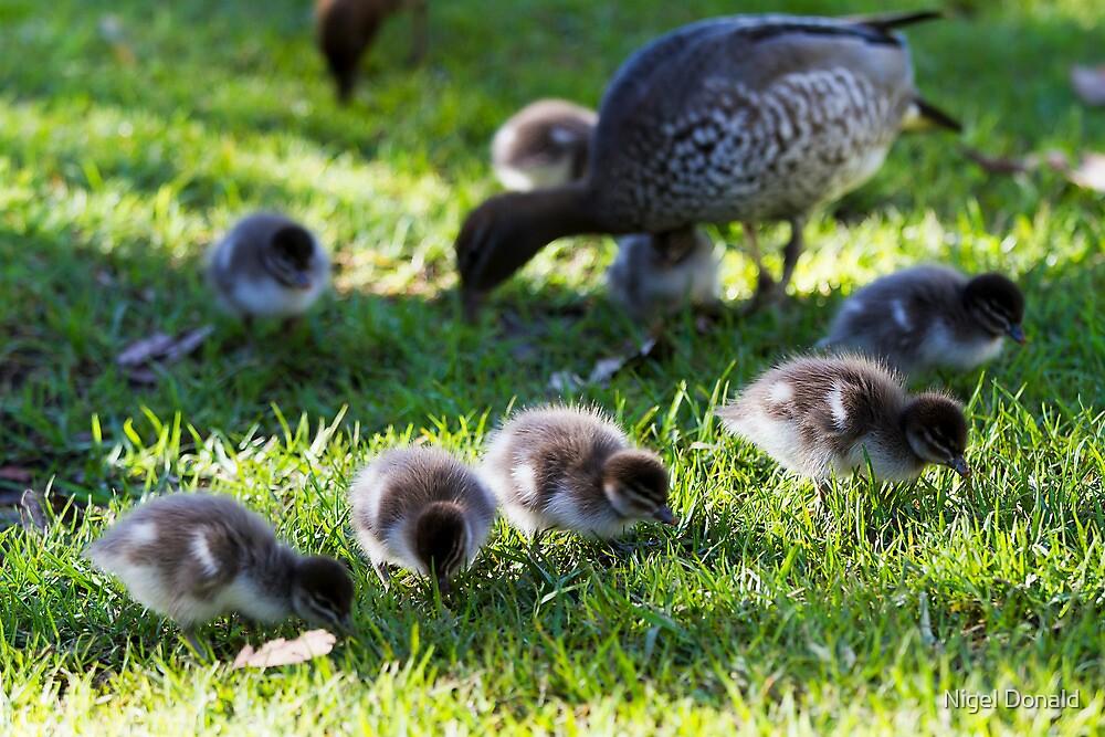 Australian Wood Ducks by Nigel Donald