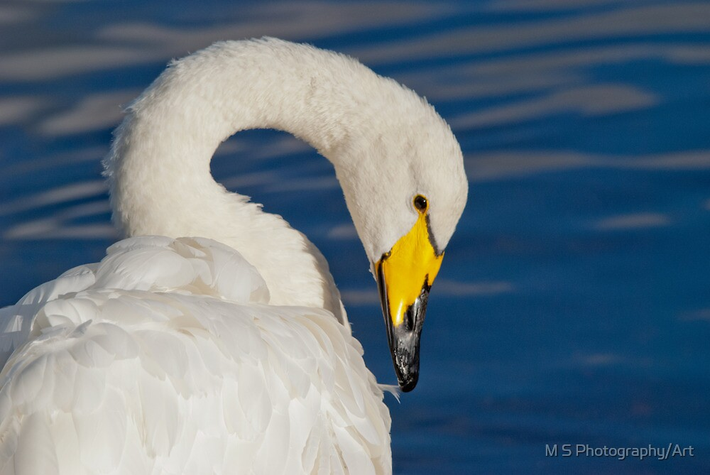 Whooper Swan Portrait by M S Photography/Art