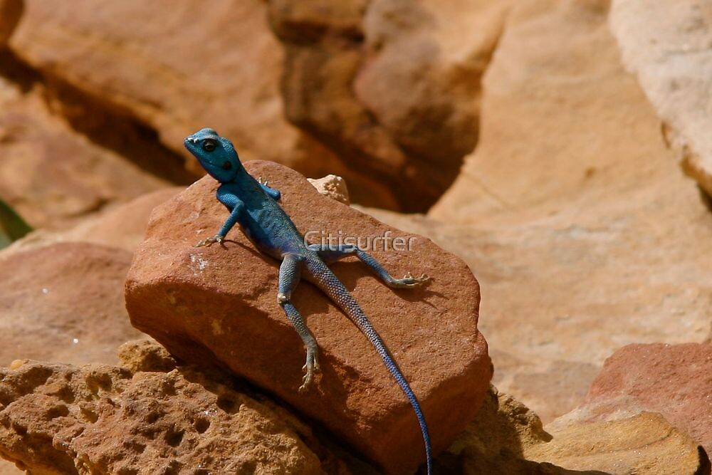 Blue Lizard on a Red Rock by Citisurfer