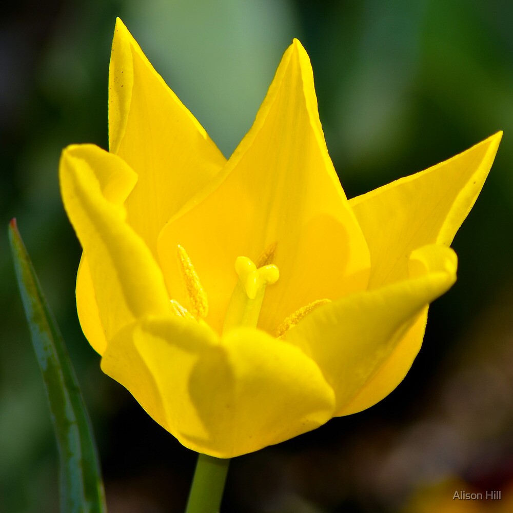 Yellow Tulip by Alison Hill