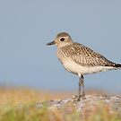 Juvenile Black-bellied Plover. by Daniel Cadieux