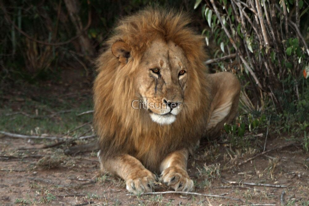 King of the Jungle by Citisurfer