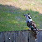 Kookaburra by Kim Austin