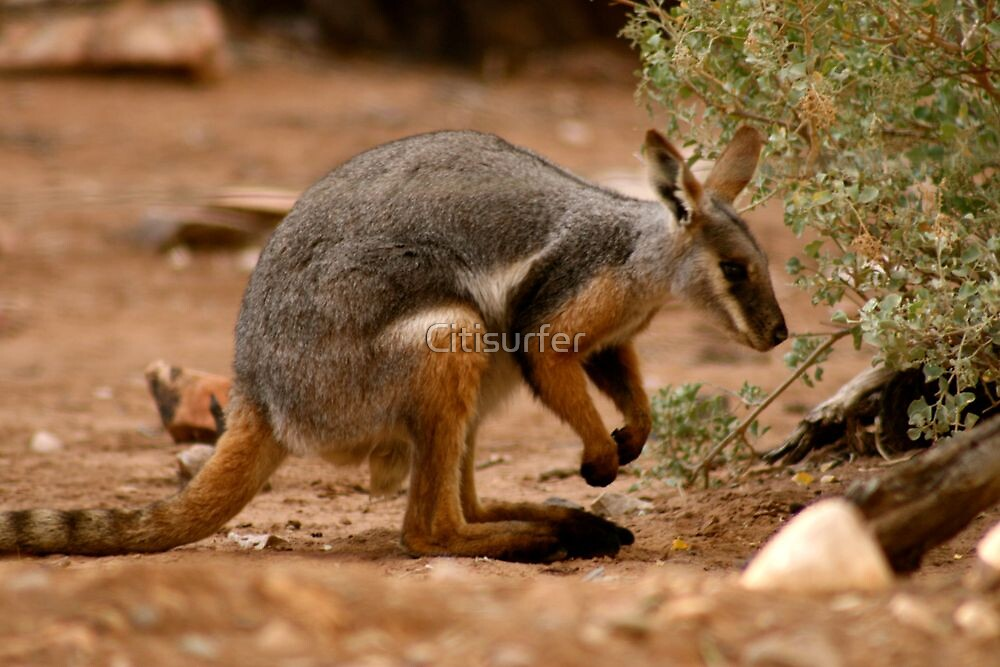 Yellow-footed Rock Wallaby by Citisurfer