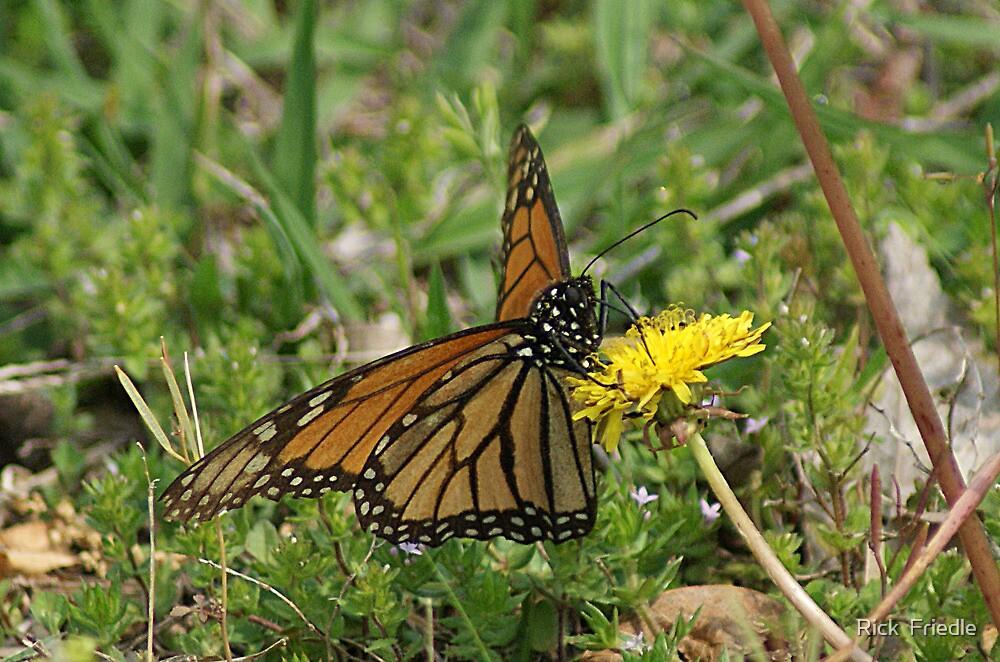 Monarch Dandelion by Rick  Friedle