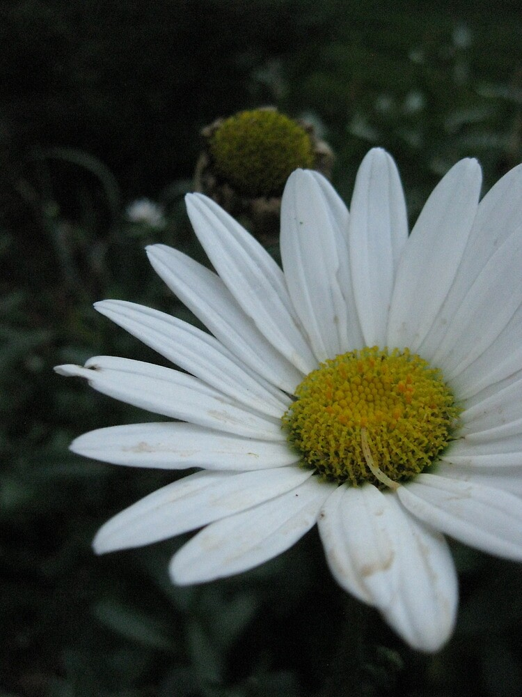 White Daisy by Copapod
