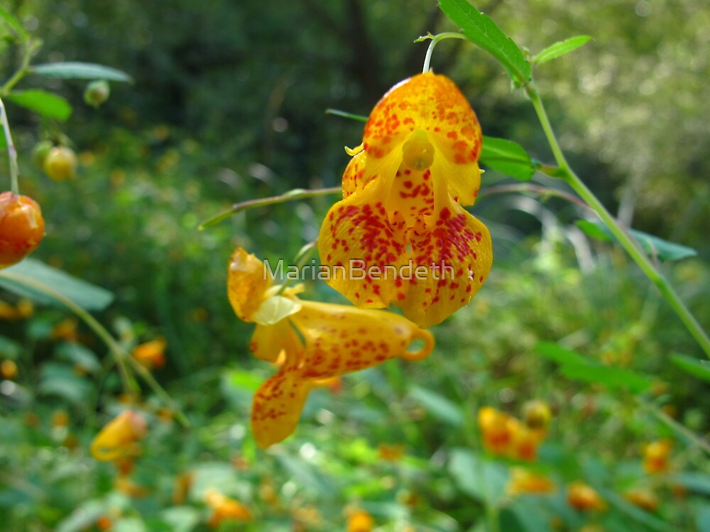 Jewelweed in the wild by MarianBendeth