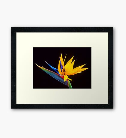 Strelitzia Isolated On Black Background Framed Print