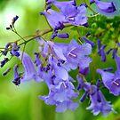 Jacaranda Blossoms by Extraordinary Light