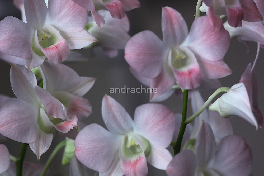 Dendrobium Pink Nagarindra by andrachne