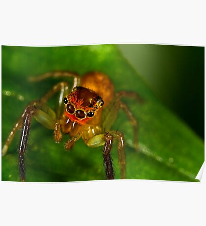 Jumping Spider (Cytaea xanthopus) Poster