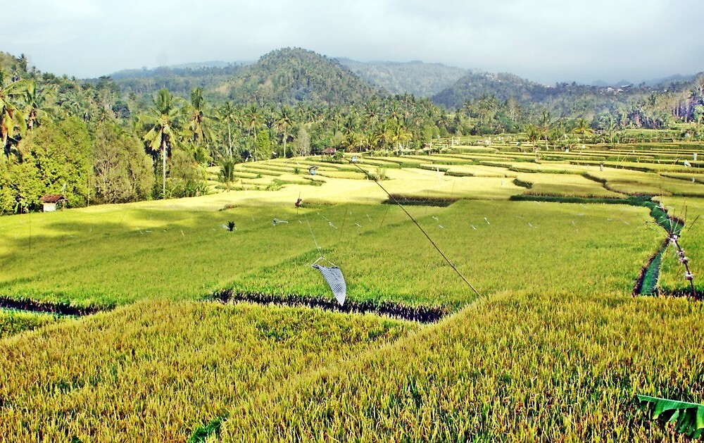 Bali Ricefield #3 by galoenk
