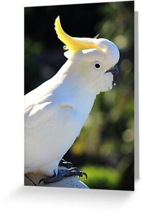 Cockatoo (Hamilton Island, Australia) by MelissaSue