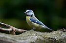 Blue tit by Peter Wiggerman