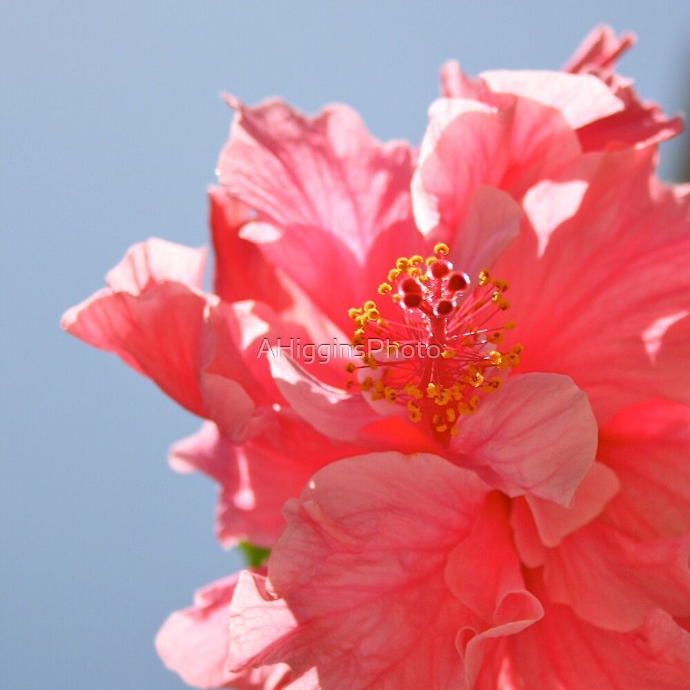 Pink Hibiscus  by LoveAphoto
