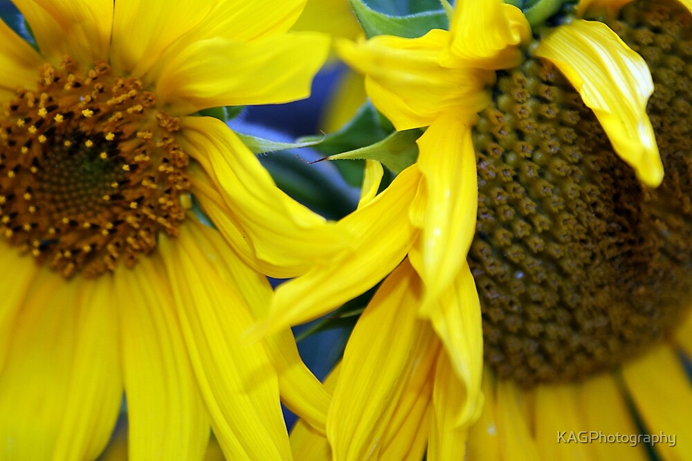 Sunflowers by KAGPhotography
