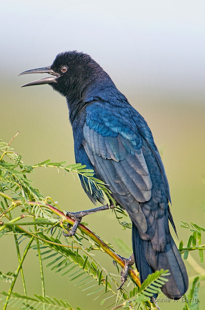 Boat  Tailed Grackle at Lacassine by Bonnie T.  Barry