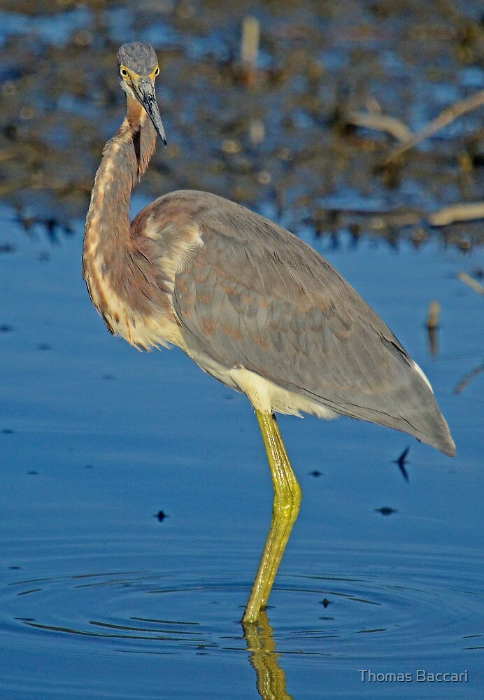 So Proud of Who I Am ( Tri-Color Heron) by TJ Baccari Photography