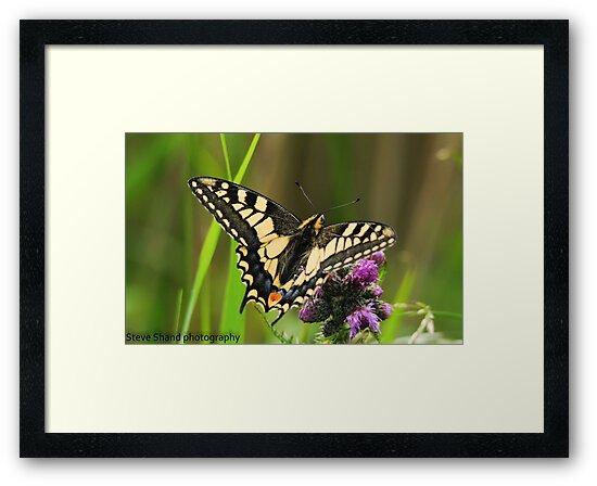 swallowtail butterfly (norfolk uk) by Steve Shand