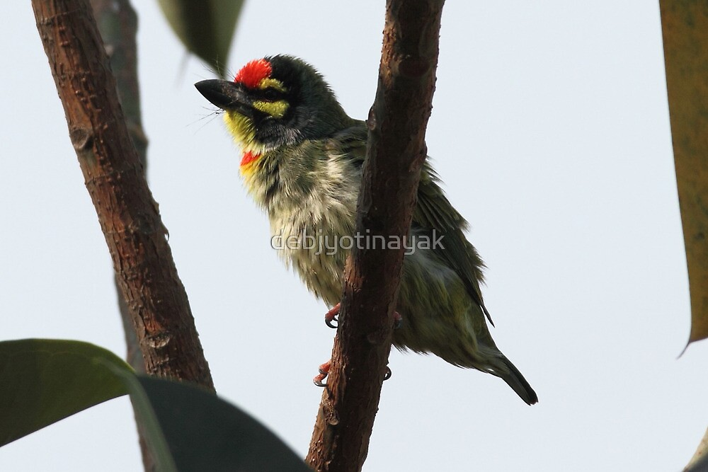 A colourful barbet. by debjyotinayak