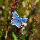 silver studded blue  by Steve Shand