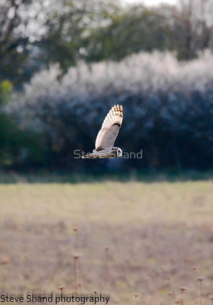 short eared owl by Steve Shand