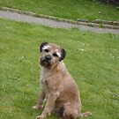 Border Terrier on Lawn by John Honeyman