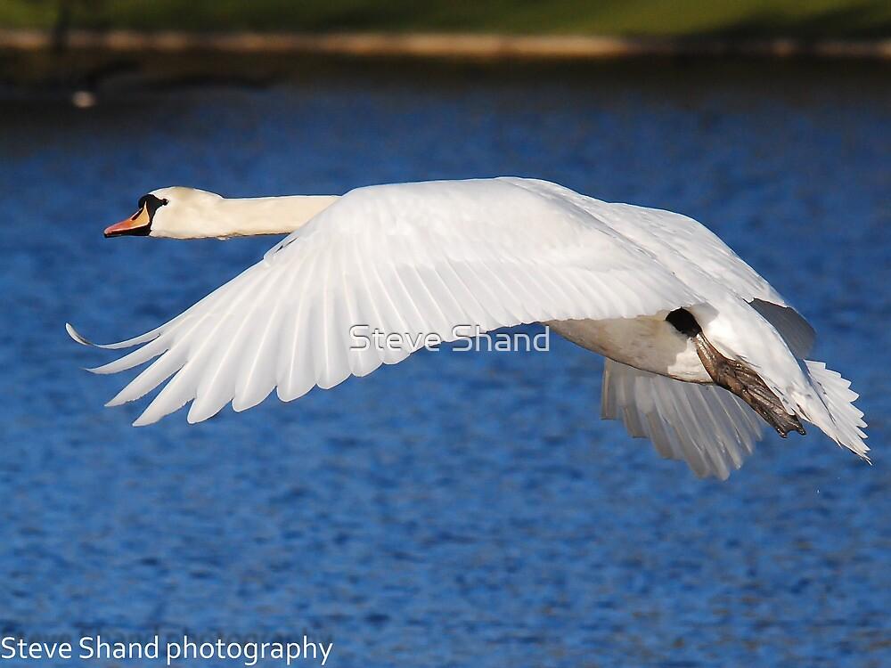 mute swan by Steve Shand