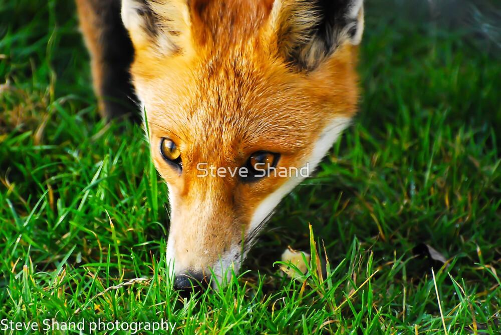 fox by Steve Shand