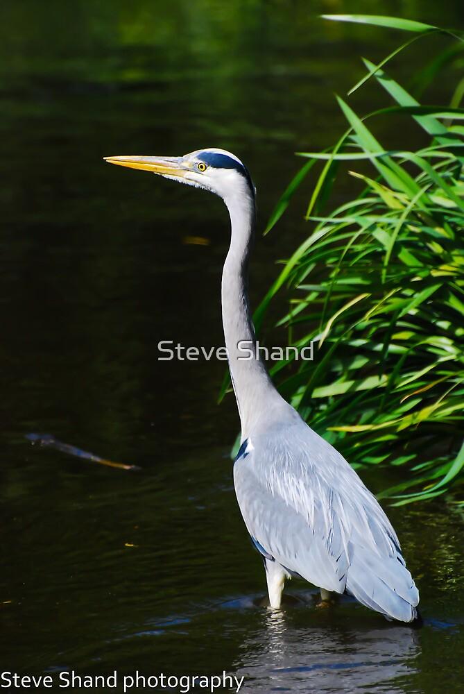 heron by Steve Shand