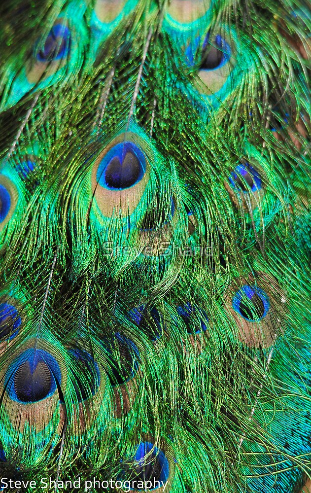 peacock feathers by Steve Shand