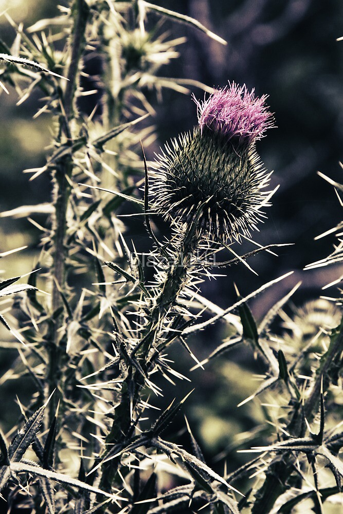 Gift of a Thistle by blaza1141