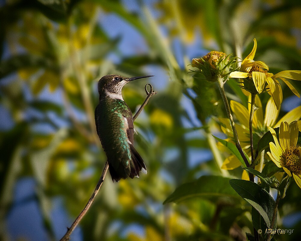 Ruby Throated Hummingbird Female by Lightengr