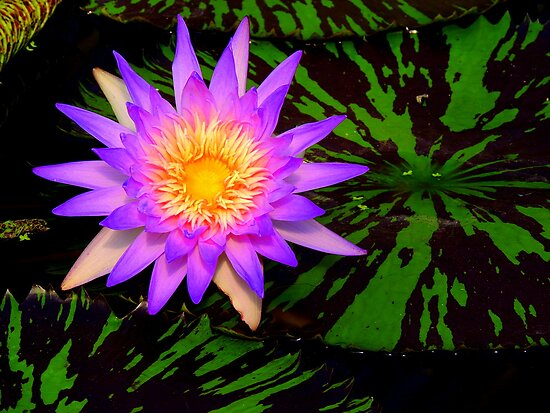 Purple Waterlily by Barnbk02